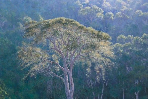 The Ancient Yellowwoods, Nature's Valley painting